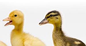 Granulés de paille, litières et aliments pour canard - Firstpellets