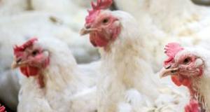 Granulés de paille, litières et aliments pour volailles adultes - Firstpellets