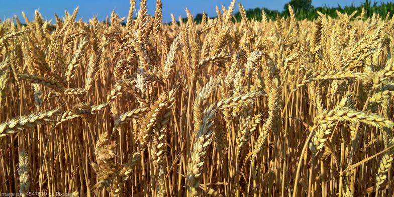 Matière première Bio&Calin - Paille de blé biologique